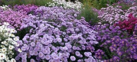 24 April 2018: Helen Picton – Daisy Days, the rise, fall and renaissance of Michaelmas Daisies