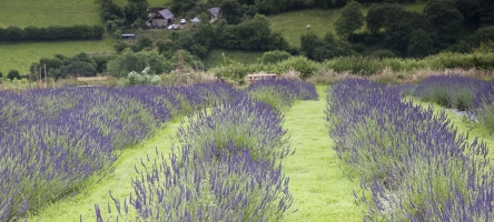 31 July 2018: Visit to the Welsh Lavender Farm